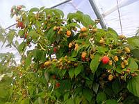 Технология выращивания МАЛИНЫ в теплицах в почве