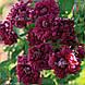 Клематис 'Purple Plena Elegans' (корневище), фото 3