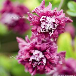 Клематис 'Purple Plena Elegans' (корневище)