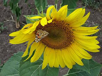 Семена подсолнечника Крепыш посевной материал