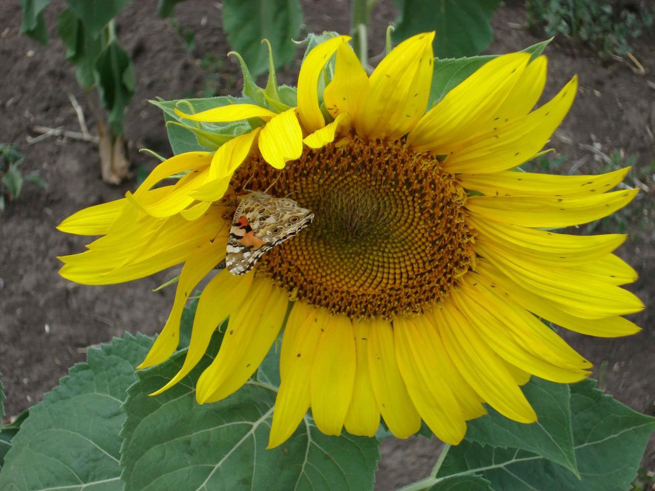 Насіння соняшнику Фолк посівний матеріал