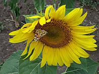Семена подсолнечника Мир посевной материал