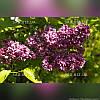Сирень обыкновенная 'Archeveque' (штамб 60см, голый корень)