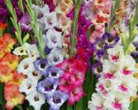 Гладиолусы крупноцветковые