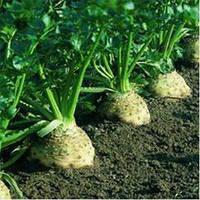 Сельдерей корневой Диамант 100 семян