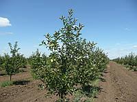 ММ-106 среднерослый подвой для яблони
