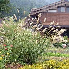 Декоративные злаки (травы)
