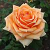 Троянда Кінгс Прайд Kings Pride(Hybrid Tea)  ВКС
