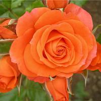 Саженец Роза Спрей Алегрия (Alegria)