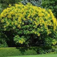 Семена кельретерии метельчатой - ложного мыльного дерева