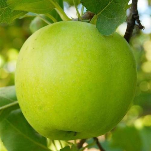 Саджанці яблуні Мутсу (Mutsu)
