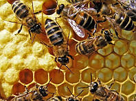 Иммунитет пчелы
