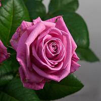 Роза чайно-гибридная Aqua