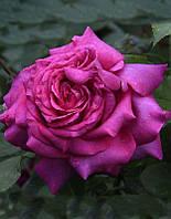 Роза чайно-гибридная Yurianda