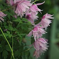 Клематис Maркхамс Пинк (Markham's Pink), фото 1