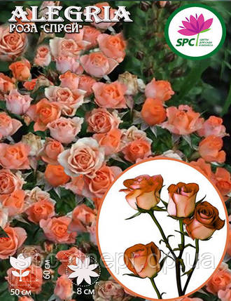 Роза бордюрная, спрей Alegria, фото 2