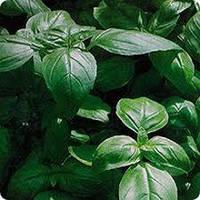 Базилик зеленый Изумруд (0,5кг)