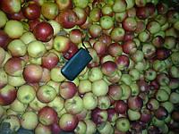 Яблоки 1й сорт