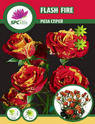 Роза бордюрная, спрей Flash Fire