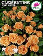 Роза бордюрная, спрей Clementine