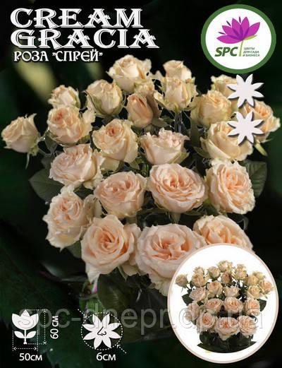 Роза бордюрная, спрей Cream Gracia