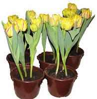 Тюльпаны в горшочке (3шт)