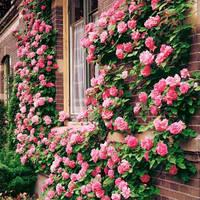 Розы оптом / вьющиеся и чайно-гибридные