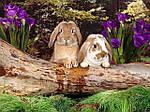 Кокцидиоз (эймериоз) кроликов.
