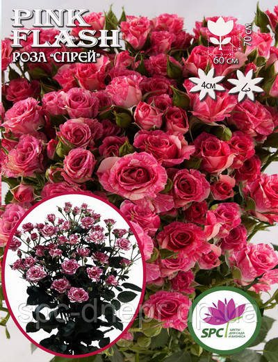 Саженец роза бордюрная, спрей Pink Flash