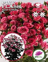 Роза бордюрная, спрей Pink Flash