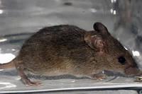 Дератизация, уничтожение грызунов: крыс и мышей