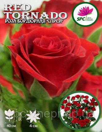 Роза бордюрная, спрей Red Tornado, фото 2