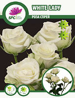 Роза бордюрная, спрей White Lady