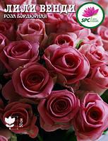 Роза бордюрная, спрей Лили Венди