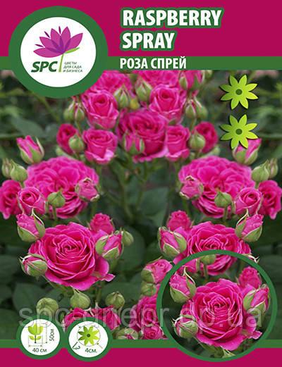 Роза бордюрная, спрей Raspberry Spray