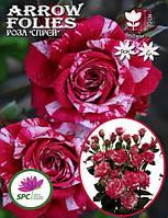 Роза бордюрная, спрей Arrow Folies