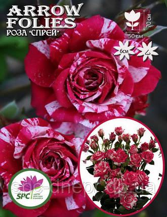 Роза бордюрная, спрей Arrow Folies, фото 2