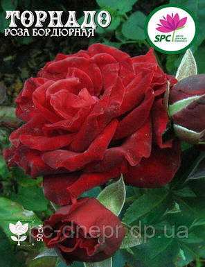 Роза бордюрная, спрей Tornado, фото 2