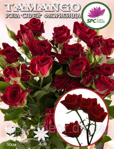 Бордюрные саженцы роз, спрей Tamango