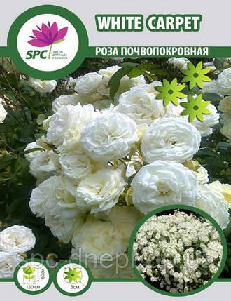 Роза почвопокровная White Carpet, фото 2