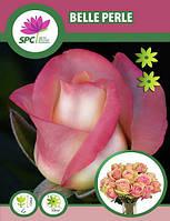 Роза чайно-гибридная Belle Perle