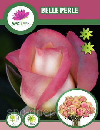 Роза чайно-гибридная Belle Perle, фото 2