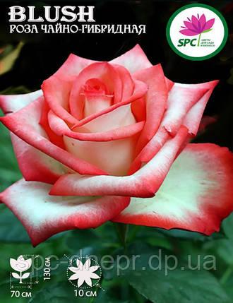 Роза чайно-гибридная Blush, фото 2