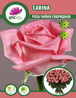 Роза чайно-гибридная Carina
