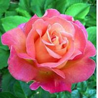 Саженцы розы чайно-гибридная Бирд класс А (8шт)