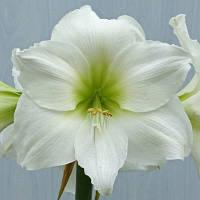 Луковица Гиппеаструм (Амараллис) простой White