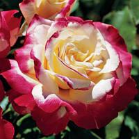 Саженцы розы чайно-гибридная Дабл Делайт класс А (8шт)