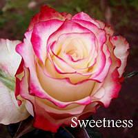 Саженцы розы чайно-гибридная Свитнес класс А (8шт)