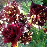 Саженцы вьющейся розы Абракадабра класс А (8шт)