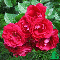 Саженцы вьющейся розы Фламентанз класс А (8шт)